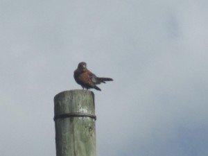 La Crécerelle des Seychelles (Falco area) dans Oiseaux IMG_0235-300x225